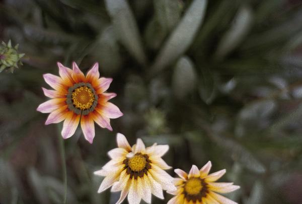California Wild Flowerscirca 1960s© 1978 Sid Avery - Image 13675_0028