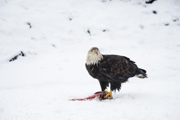 Alaska Chilkat Bald Eagle Preserve, Haines, Alaska2016© 2016 Deede Denton - Image 24368_0271