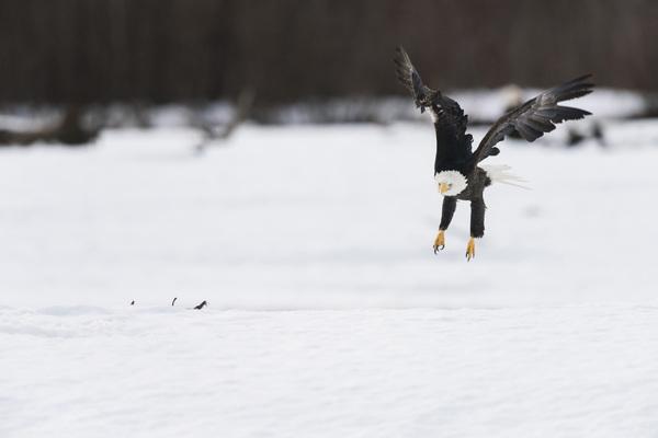 Alaska Chilkat Bald Eagle Preserve, Haines, Alaska2016© 2016 Deede Denton - Image 24368_0275